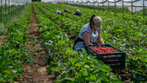 Woman,Picks,Strawberries,In,The,Greenhouse,With,Harvest.,Berry,Season